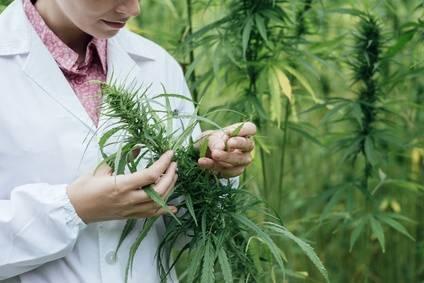 High Supplies semillas de cannabis