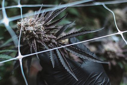 Las semillas de marihuana sativa
