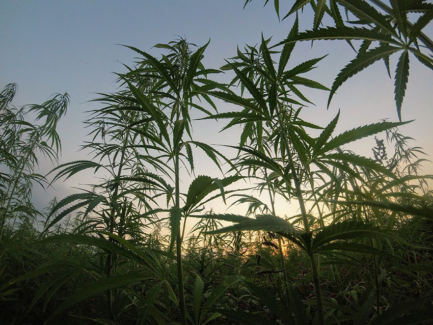 semillas de weed