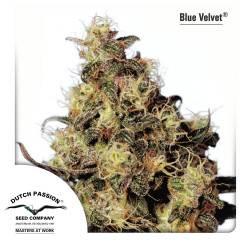 Blue Velvet Feminizadas