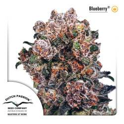 Blueberry Feminizadas