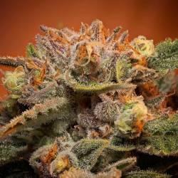California Orange Bud Feminizadas