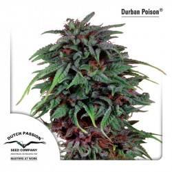 Durban Poison Feminizadas