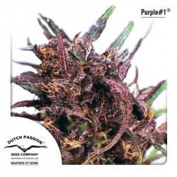 Purple #1 Feminizadas