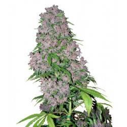 Purple Bud Feminizadas